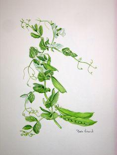 peas watercolor original botanical painting - spring peas and pea pods Vine Tattoos, Flower Tattoos, Beach Watercolor, Watercolor Paper, Fruit Picture, Pea Pods, Sweet Tattoos, Cat Tattoo, Vines