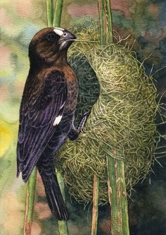 Thickbilled Weaver by Willem.
