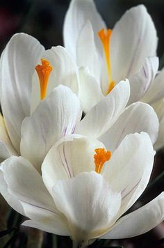 Crocus 'Jeanne d'Arc'. Planted these with pale pink tulips in the front bed.