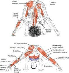 Yoga anatomy for wide legged forward bend