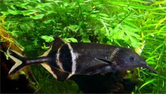 Elephant nose Fish ~ I love these fish & have had a few, but they are finicky eaters.  Called Peter's Elephant Nose.
