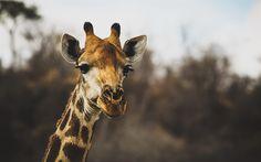 Download wallpapers Giraffe, wildlife, sunset, Africa