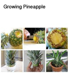 You can put the top right into the soil. You can skip the water stage. After it is one year old lay a ripe apple beside the plant in the spring and your plant will put on a pineapple. I harvested 4 pineapples from my yearlings this year