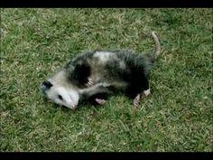 A Pet Possum - Easier Way to Save - New GEICO Commercial...You got me Geico...you got me! lmfao