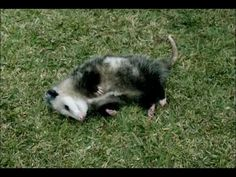 A Pet Possum - Easier Way to Save - New GEICO Commercial
