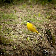 Cincia Giovane (Cianciallegra e Cinciarella) - https://robertograno.format.com/  http://www.karovision.it/  #bird #nature #animal #wildlifephotography,  #outdoor, #beak #branch #bird #watching #animals_in_the_wild #feather #perching #one_animal #yellow #tree #small #sitting #forest #beautyinnature #greencolor #cincia #cinciallegra #cinciarella #uccelli