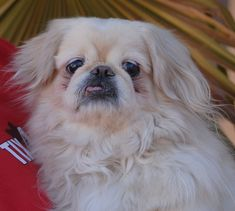 Lovebug is a calm-natured, endearing little gentleman dreaming of a forever home.  He is a Pekingese, about 6 years of age, neutered, and ready for adoption at Nevada SPCA (www.nevadaspca.org).  Lovebug needs regular professional grooming and he enjoys other sweet dogs.