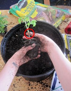 "Container Tomato Gardening Tutorial, good tips in comments too, companion plants for cutworms (dill, fennel, parsley, Queen Anne's Lace) or toilet paper role 2"" high around base."