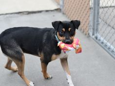 SAFE❤️❤️ 10/6/16 ❤️ PLEASE LOVE AND KEEP HER FOREVER❤️ RETURN!!! SUPER URGENT Brooklyn Center ROXY aka BART – A1045013 ***RETURNED 09/25/16*** SPAYED FEMALE, BLACK / WHITE, ROTTWEILER / GERM SHEPHERD, 1 yr, 5 mos OWNER SUR – EVALUATE, HOLD FOR ID Reason PERS PROB Intake condition UNSPECIFIE Intake Date 09/25/2016, From NY 11224, DueOut Date09/28/2016