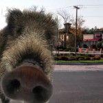 Utica's Boar Mascot Tours Central New York [PHOTOS]