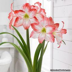 Red and White Spotlight Amaryllis Bulb, Hippeastrum, Amaryllis