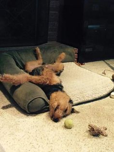 Airedale Sleep Position # 108