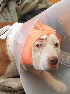 Pit Bull Saves His Owner's Life By Taking A Bullet To The Head - It has often been said that a dog is the ONLY animal that will give its life for that of its owner!
