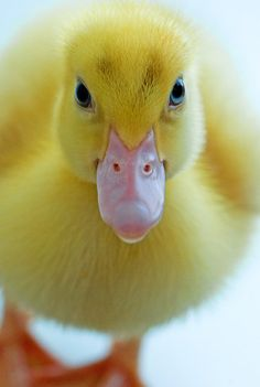 """Jarpi."" The little duckling with BIG attitude!                          (Photo By: Renee Hubbard - Fine Art Photography.)"