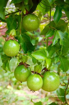 Passion fruits on vine