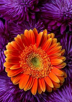 Purple and Orange - Gerbera Daisy and Mums Print ~ By Garry Gay Purple Mums, Orange And Purple, Orange Color, Color Combos, Color Schemes, World Of Color, Orange Flowers, Planting Flowers, Beautiful Flowers