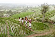 Tourist Destinations in Indonesia: World Heritage-listed Jatiluwih Rice Terraces in the heart of the Tabanan Regency in Bali