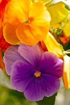 Spring Pansies                          Flowers