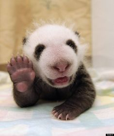A baby panda gives a regal wave from his incubator. The cuteness.