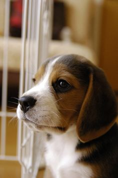 Are you interested in a Beagle? Well, the Beagle is one of the few popular dogs that will adapt much faster to any home. Whether you have a large family, p Cute Beagles, Cute Puppies, Cute Dogs, Dogs And Puppies, Toy Dogs, Positive Dog Training, Training Your Dog, Beagle Puppy, Baby Beagle