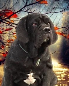 Trinity Neapolitan Mastiffs, Labrador Retriever, Dogs, Animals, Labrador Retrievers, Animales, Animaux, Doggies, Neopolitan Mastiff