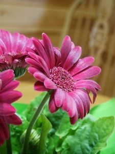 How to Propagate Gerbera Daisy Plants From Cuttings