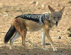 Jackal - Canis mesomelas