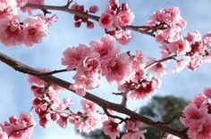 Images For > White Cherry Blossom Branch Photography