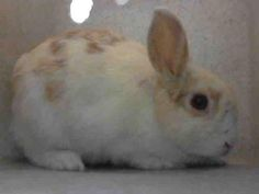 10/1/16 A4956752 - URGENT - L.A. COUNTY ANIMAL CARE CONTROL: CARSON SHELTER in Gardena, CA - Young Female Bunny Rabbit