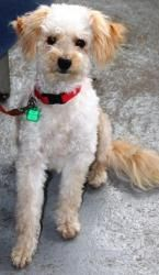 Chika is an adoptable Poodle Dog in Appleton, WI. Toy Poodle mix 11 months old Spayed female Adoption fee:  $300 Fee includes rabies & distemper vaccinations, heartworm testing, deworming, spay or neu...