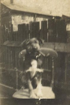 Vintage photograph of dog posing with pipe. Circa 1910/1920's