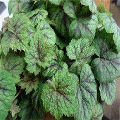 x Heucherella 'Glacier Falls' Shade Plants, Herbs, Fall, Cover, Autumn, Fall Season, Herb, Medicinal Plants