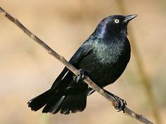 Blackbirds have the most beautiful song and I love to hear them but not feed them. They scoop up  the food from the feeder, and when I shoo them off they shout back at me.