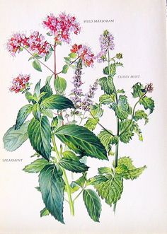 Wild Marjoram, Spearmint, Curly Mint Print: 1969 Vintage Colored Botanical Illustration. $10.00, via Etsy.