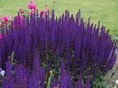 Salvia Caradonna - Ultra hardy deer proof perennial for sun. Perfect with Daylilies, KnockOut Roses, Shrubs, Sun Perennials.