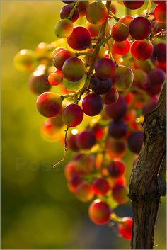 Edith Albuschat - Weintrauben Rebe in der Abendsonne