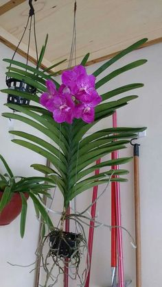 vanda is unique due to its aerial roots flowers pinterest orchids vanda orchids and roots. Black Bedroom Furniture Sets. Home Design Ideas