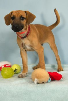 Meet Betty Sue, an adoptable Labrador Retriever looking for a forever home. If you're looking for a new pet to adopt or want information on how to get involved with adoptable pets, Petfinder.com is a great resource.