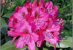 die besten 25 rododendron pflege ideen auf pinterest rhododendron schneiden rhododendron. Black Bedroom Furniture Sets. Home Design Ideas