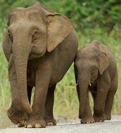 Cute Elephant | true wild life asian elephant asian elephants are much smaller than ...