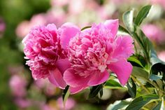 Landscape Top 10 Front Yard Plants For Outdoor Gardening - Bright Freak Visualizing Your Home Theate Compost, Peony Care, Coleus, Bouquet Champetre, Delphinium Flowers, Delphiniums, Front Yard Plants, Peonies Season, Window Box Flowers