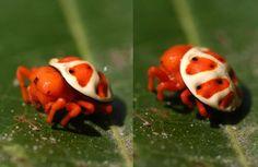 """""""The cutest spider ever - the Orange Tortoise spider."""""""