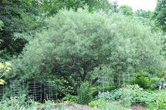 great shrub: salix elaeagnos, rosemary willow