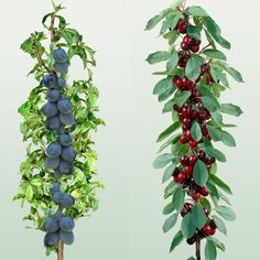 Mini fruit Trees - Cherry & Plum-Need to find these in the US-I had 'pole' apples at my previous house, but can't find them again!