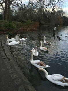 Mute Swans, Hyde Park