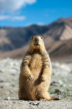 Inquisitive Marmot Northern India Groundhog Pictures, Tame Animals, Capybara, Wild Dogs, Rodents, Cute Funny Animals, Woodland Animals, Wildlife Photography, Animal Pictures