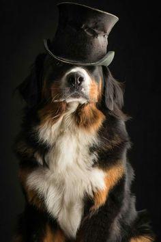 Bernese Mountain Dog | Paul Croes
