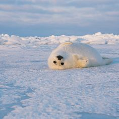 Photo by Kerry. A curious Whitecoat Harp Seal pup playfully rolls over in Canada's Gulf of St. No mor… – Baak Turn Animals Harp Seal Pup, Baby Harp Seal, Baby Seal, Cute Baby Animals, Funny Animals, Cute Seals, Arctic Animals, Cute Friends, Mundo Animal