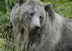 pictures of grizzlies - Bing images