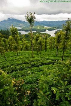 tea plantations on the hills near ooty-Nilgiris Hills-tamil nadu-south india